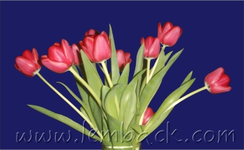 My tulips photo