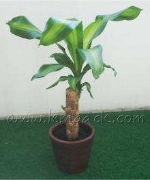 Fortune Plant