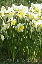 yellow-white daffodils