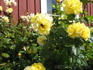 giant yellow roses