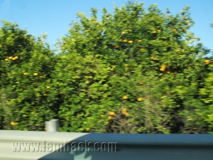 Highway oranges-Sicily