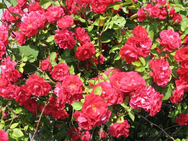 Red rose bush in Kalmar