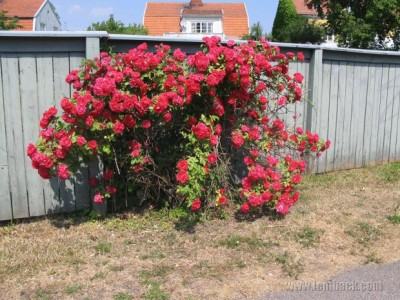 Red rose bush in Sweden