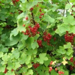 Red Currant in the Backyard